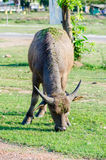 Thai buffalo. Royalty Free Stock Photo