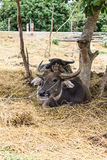 Thai buffalo Royalty Free Stock Image