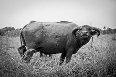 Thai buffalo. The big black buffalo in the grass field royalty free stock photos