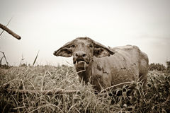 Thai buffalo. The big black buffalo in the grass field royalty free stock images