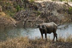 Thai buffalo Royalty Free Stock Photo