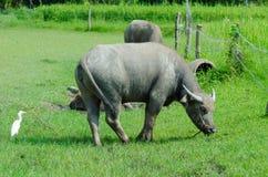 Thai buffalo  countryside. Royalty Free Stock Image