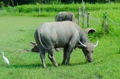 Thai buffalo  countryside. Stock Photo