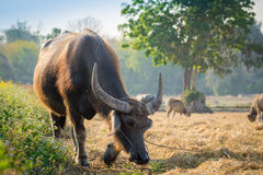 Thai buffalo. Eating grass on the field Royalty Free Stock Photos