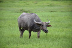 Thai buffalo eating on the grass field. stock photo