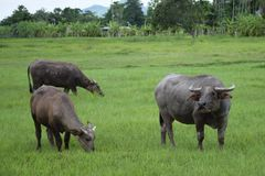 Thai buffalo eating on the grass field. Royalty Free Stock Image