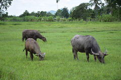 Thai buffalo eating on the grass field. Royalty Free Stock Images
