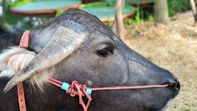 Thai Buffalo eating hay in farm royalty free stock photos