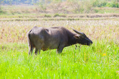 Thai buffalo. Eating in a rice field Royalty Free Stock Photo