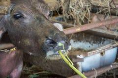 Thai  buffalo eating vegetable Stock Photos