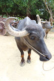 Thai buffalo. Farm Royalty Free Stock Photos