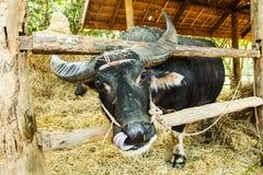 Thai buffalo in farm Royalty Free Stock Photography