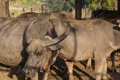 Thai buffalo in farm Stock Images