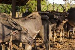Thai buffalo in farm Stock Photo