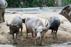 Thai buffalo. Buffalo, farmer farm rice agriculture wild, water buffalo, water tropical trees thailand culture, rice harvest, pond outdoor, nature muscle mud Stock Photography