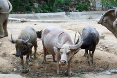 Thai buffalo. Buffalo, farmer farm rice agriculture wild, water buffalo, water tropical Stock Photography