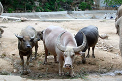 Thai buffalo Stock Photo