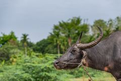Thai buffalo feed on grass before they get slaughtered. Thai buffalo feed on grass before they are brought to the slaughter house royalty free stock photography
