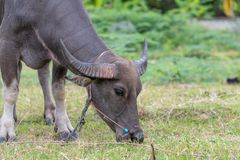 Thai buffalo feed on grass before they get slaughtered. Thai buffalo feed on grass before they are brought to the slaughter house stock image