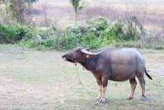 Thai buffalo in the field Stock Photos