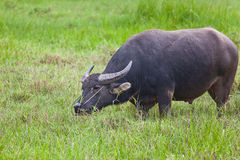 Thai buffalo in grass field Stock Photo