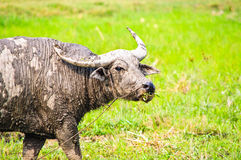 Thai buffalo in grass field Royalty Free Stock Image