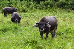 Thai buffalo on grass field and looking camera.  Thai countryside with buffalo in the grass field Royalty Free Stock Image