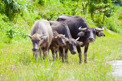 Thai buffalo in grass field Royalty Free Stock Photos
