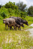 Thai buffalo in grass field Stock Photos