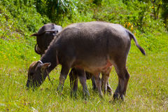 Thai buffalo in grass field Royalty Free Stock Images