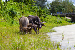 Thai buffalo in grass field Stock Images