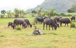 Thai buffalo Stock Photos
