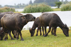 Thai buffalo in grass field in Thailand. Stock Image