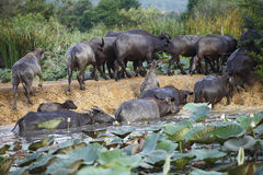 Thai buffalo in grass field Thailand. Thai buffalo in grass field near Bangkok, Thailand royalty free stock photography
