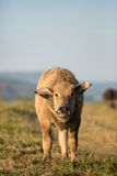 Thai buffalo Stock Images