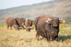 Thai buffalo Stock Photography