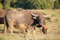 Thai buffalo Royalty Free Stock Photos