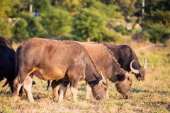 Thai buffalo Stock Image