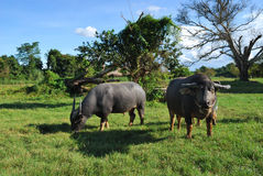 Thai buffalo is grazing in a field Stock Photo
