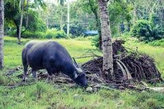 Thai Buffalo. Grazing in the Koh-Samui island Stock Image