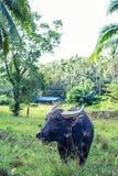 Thai Buffalo. Grazing in the Koh-Samui island Stock Photography