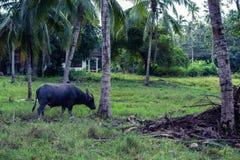 Thai Buffalo. Grazing in the Koh-Samui island Royalty Free Stock Photos