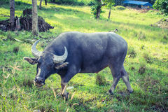 Thai Buffalo. Grazing in the Koh-Samui island Royalty Free Stock Images