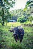 Thai Buffalo. Grazing in the Koh-Samui island Stock Photo