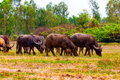 Thai buffalo. Herd in field Stock Image