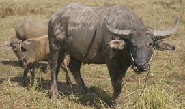 Thai Buffalo lifestyle. The most closely related to the farming of Asian countries. Farmers like buffalo to labor for plowing. Some use buffalo as a vehicle to Royalty Free Stock Photo