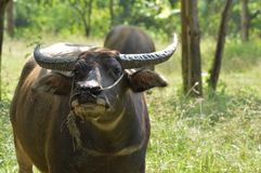Thai buffalo. Is normally used in agriculture royalty free stock images