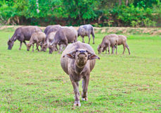 Thai Buffalo. In the pass, Thais used buffalo to plow the rice field. The machine is used instead for now but buffalo still is used in some farm royalty free stock photos