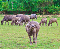 Thai Buffalo. In the pass, Thais used buffalo to plow the rice field. The machine is used instead for now but buffalo still is used in some farm Royalty Free Stock Photo
