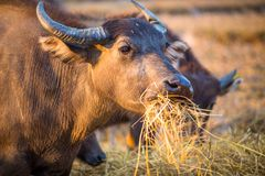 Thai buffalo portrait, Thailand. Thai buffalo portrait eating, Thailand, Asia Royalty Free Stock Photography